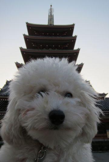 プードルフントヒュッテ東京トイプードルかわいい子犬こいぬ文京区本駒込hundehutte仔犬プードルショータイプブリーダープードルカットトイプードル画像832.jpg