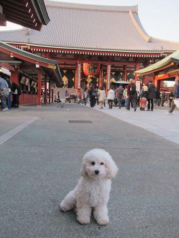 プードルフントヒュッテ東京トイプードルかわいい子犬こいぬ文京区本駒込hundehutte仔犬プードルショータイプブリーダープードルカットトイプードル画像833.jpg