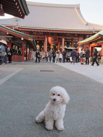 プードルフントヒュッテ東京トイプードルかわいい子犬こいぬ文京区本駒込hundehutte仔犬プードルショータイプブリーダープードルカットトイプードル画像834.jpg