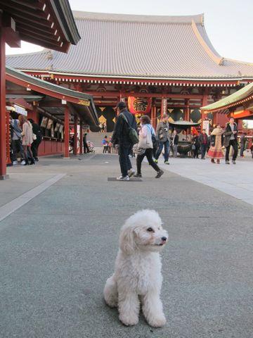 プードルフントヒュッテ東京トイプードルかわいい子犬こいぬ文京区本駒込hundehutte仔犬プードルショータイプブリーダープードルカットトイプードル画像836.jpg