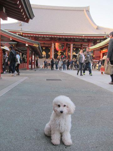 プードルフントヒュッテ東京トイプードルかわいい子犬こいぬ文京区本駒込hundehutte仔犬プードルショータイプブリーダープードルカットトイプードル画像837.jpg