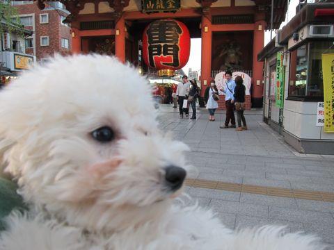 プードルフントヒュッテ東京トイプードルかわいい子犬こいぬ文京区本駒込hundehutte仔犬プードルショータイプブリーダープードルカットトイプードル画像840.jpg