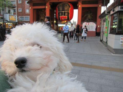 プードルフントヒュッテ東京トイプードルかわいい子犬こいぬ文京区本駒込hundehutte仔犬プードルショータイプブリーダープードルカットトイプードル画像842.jpg