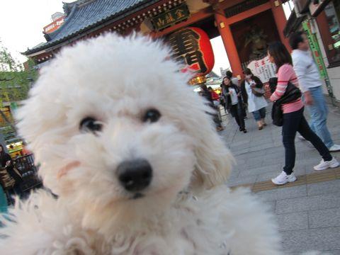 プードルフントヒュッテ東京トイプードルかわいい子犬こいぬ文京区本駒込hundehutte仔犬プードルショータイプブリーダープードルカットトイプードル画像843.jpg