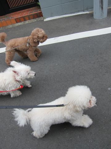 プードルフントヒュッテ東京トイプードルかわいい子犬こいぬ文京区本駒込hundehutte仔犬プードルショータイプブリーダープードルカットトイプードル画像850.jpg