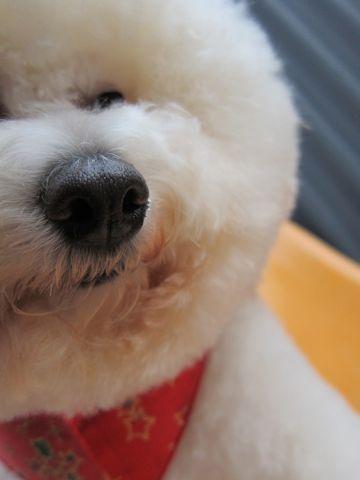 ビションフリーゼトリミングフントヒュッテ東京hundehutte文京区トリミング駒込ナノオゾンペットシャワー使用トリミングサロン犬ビションハーブパック効果42.jpg
