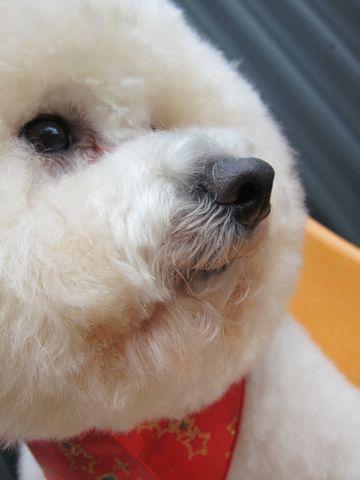 ビションフリーゼトリミングフントヒュッテ東京hundehutte文京区トリミング駒込ナノオゾンペットシャワー使用トリミングサロン犬ビションハーブパック効果43.jpg