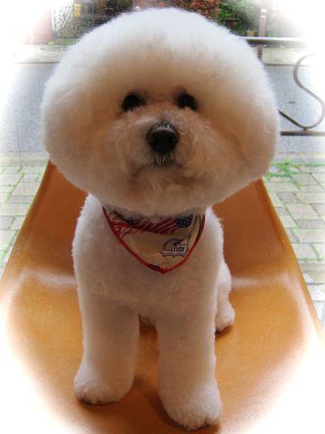 ビションフリーゼトリミングフントヒュッテ東京hundehutte文京区トリミング駒込ナノオゾンペットシャワー使用トリミングサロン犬ビションハーブパック効果116.jpg