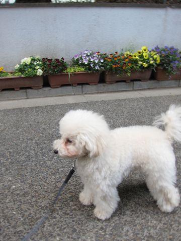 プードルフントヒュッテ東京トイプードルかわいい子犬こいぬ文京区本駒込hundehutte仔犬プードルショータイプブリーダープードルカットトイプードル画像853.jpg