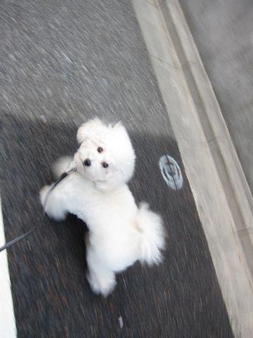 プードルフントヒュッテ東京トイプードルかわいい子犬こいぬ文京区本駒込hundehutte仔犬プードルショータイプブリーダープードルカットトイプードル画像854.jpg