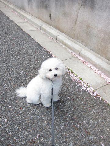 プードルフントヒュッテ東京トイプードルかわいい子犬こいぬ文京区本駒込hundehutte仔犬プードルショータイプブリーダープードルカットトイプードル画像855.jpg