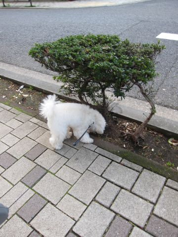 プードルフントヒュッテ東京トイプードルかわいい子犬こいぬ文京区本駒込hundehutte仔犬プードルショータイプブリーダープードルカットトイプードル画像857.jpg