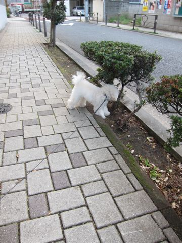 プードルフントヒュッテ東京トイプードルかわいい子犬こいぬ文京区本駒込hundehutte仔犬プードルショータイプブリーダープードルカットトイプードル画像858.jpg
