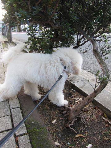 プードルフントヒュッテ東京トイプードルかわいい子犬こいぬ文京区本駒込hundehutte仔犬プードルショータイプブリーダープードルカットトイプードル画像859.jpg