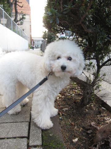 プードルフントヒュッテ東京トイプードルかわいい子犬こいぬ文京区本駒込hundehutte仔犬プードルショータイプブリーダープードルカットトイプードル画像860.jpg