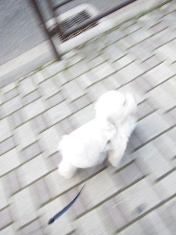 プードルフントヒュッテ東京トイプードルかわいい子犬こいぬ文京区本駒込hundehutte仔犬プードルショータイプブリーダープードルカットトイプードル画像861.jpg
