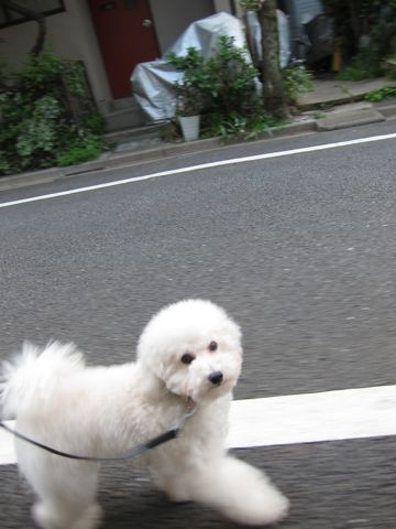 プードルフントヒュッテ東京トイプードルかわいい子犬こいぬ文京区本駒込hundehutte仔犬プードルショータイプブリーダープードルカットトイプードル画像863.jpg