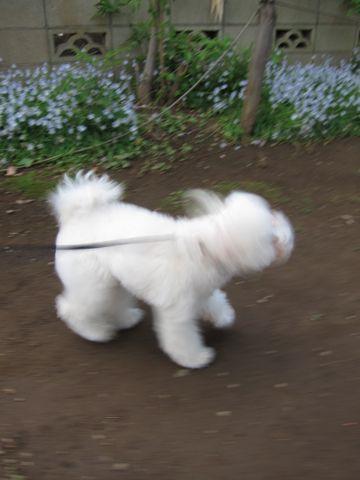 プードルフントヒュッテ東京トイプードルかわいい子犬こいぬ文京区本駒込hundehutte仔犬プードルショータイプブリーダープードルカットトイプードル画像865.jpg
