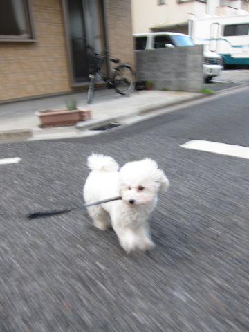 プードルフントヒュッテ東京トイプードルかわいい子犬こいぬ文京区本駒込hundehutte仔犬プードルショータイプブリーダープードルカットトイプードル画像867.jpg