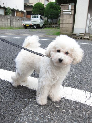 プードルフントヒュッテ東京トイプードルかわいい子犬こいぬ文京区本駒込hundehutte仔犬プードルショータイプブリーダープードルカットトイプードル画像869.jpg