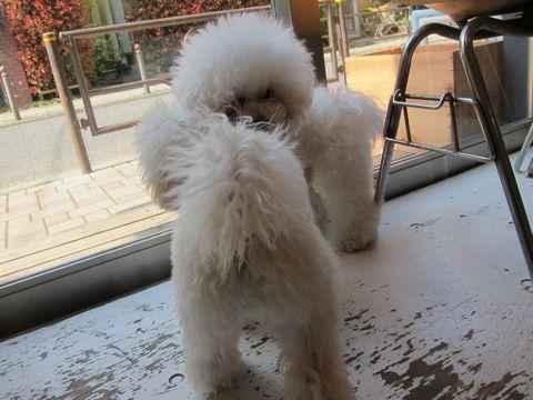 プードルフントヒュッテ東京トイプードルかわいい子犬こいぬ文京区本駒込hundehutte仔犬プードルショータイプブリーダープードルカットトイプードル画像884.jpg