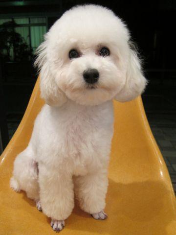 プードルフントヒュッテ東京トイプードルかわいい子犬こいぬ文京区本駒込hundehutte仔犬プードルショータイプブリーダープードルカットトイプードル画像891.jpg