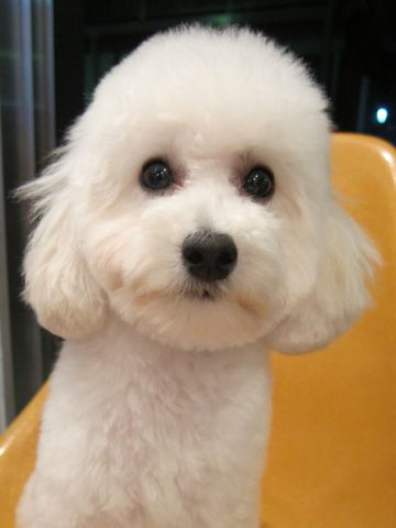 プードルフントヒュッテ東京トイプードルかわいい子犬こいぬ文京区本駒込hundehutte仔犬プードルショータイプブリーダープードルカットトイプードル画像893.jpg