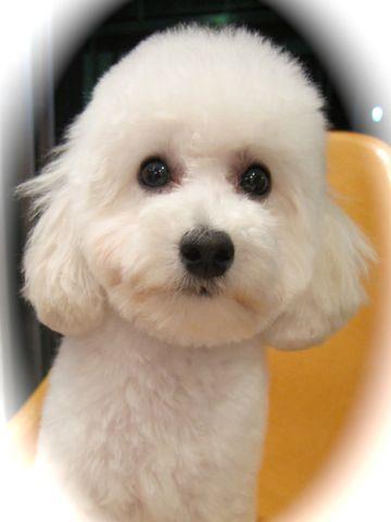 プードルフントヒュッテ東京トイプードルかわいい子犬こいぬ文京区本駒込hundehutte仔犬プードルショータイプブリーダープードルカットトイプードル画像894.jpg