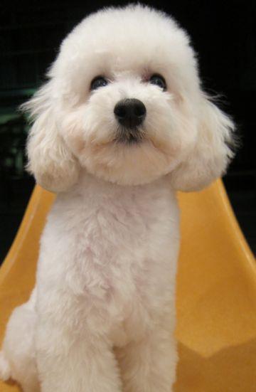 プードルフントヒュッテ東京トイプードルかわいい子犬こいぬ文京区本駒込hundehutte仔犬プードルショータイプブリーダープードルカットトイプードル画像895.jpg