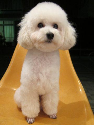 プードルフントヒュッテ東京トイプードルかわいい子犬こいぬ文京区本駒込hundehutte仔犬プードルショータイプブリーダープードルカットトイプードル画像898.jpg