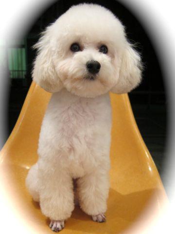 プードルフントヒュッテ東京トイプードルかわいい子犬こいぬ文京区本駒込hundehutte仔犬プードルショータイプブリーダープードルカットトイプードル画像899.jpg