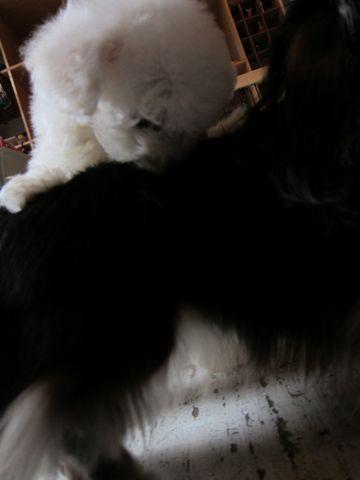 ビションフリーゼフントヒュッテ東京関東かわいいビションのこいぬ文京区hundehutte子犬を迎えたいどこでダックス小さいダックスカニヘンダックスカニンヘン女の子2.jpg