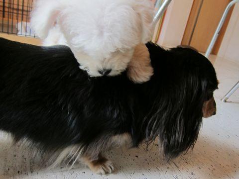 ビションフリーゼフントヒュッテ東京関東かわいいビションのこいぬ文京区hundehutte子犬を迎えたいどこでダックス小さいダックスカニヘンダックスカニンヘン女の子4.jpg