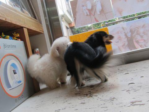 ビションフリーゼフントヒュッテ東京関東かわいいビションのこいぬ文京区hundehutte子犬を迎えたいどこでダックス小さいダックスカニヘンダックスカニンヘン女の子5.jpg