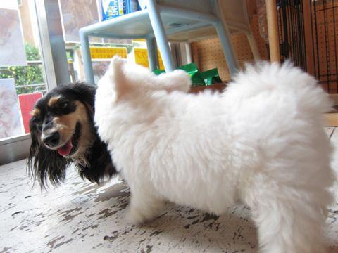 ビションフリーゼフントヒュッテ東京関東かわいいビションのこいぬ文京区hundehutte子犬を迎えたいどこでダックス小さいダックスカニヘンダックスカニンヘン女の子8.jpg