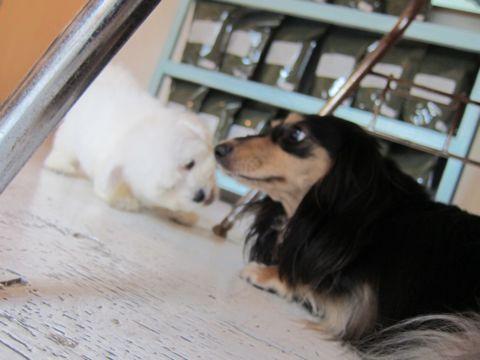 ビションフリーゼフントヒュッテ東京関東かわいいビションのこいぬ文京区hundehutte子犬を迎えたいどこでダックス小さいダックスカニヘンダックスカニンヘン女の子9.jpg