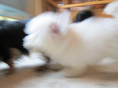 ビションフリーゼフントヒュッテ東京関東かわいいビションのこいぬ文京区hundehutte子犬を迎えたいどこでダックス小さいダックスカニヘンダックスカニンヘン女の子11.jpg