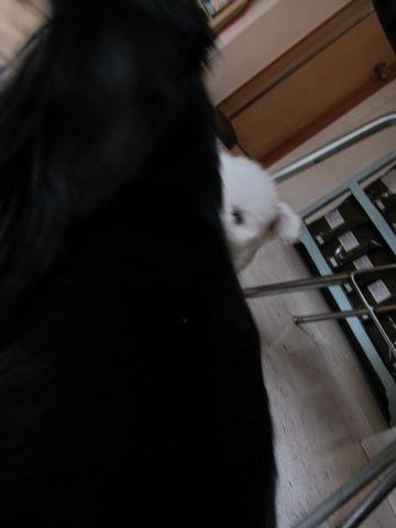 ビションフリーゼフントヒュッテ東京関東かわいいビションのこいぬ文京区hundehutte子犬を迎えたいどこでダックス小さいダックスカニヘンダックスカニンヘン女の子13.jpg