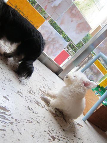 ビションフリーゼフントヒュッテ東京関東かわいいビションのこいぬ文京区hundehutte子犬を迎えたいどこでダックス小さいダックスカニヘンダックスカニンヘン女の子14.jpg