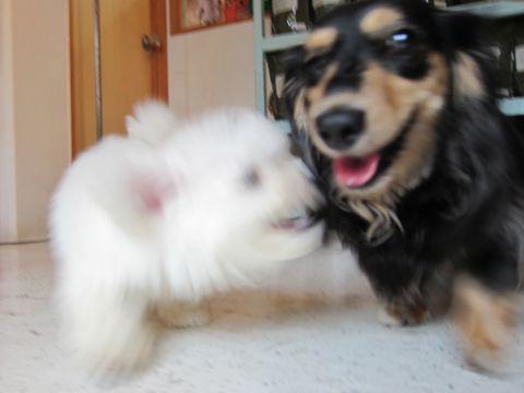 ビションフリーゼフントヒュッテ東京関東かわいいビションのこいぬ文京区hundehutte子犬を迎えたいどこでダックス小さいダックスカニヘンダックスカニンヘン女の子15.jpg
