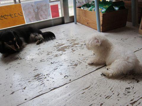ビションフリーゼフントヒュッテ東京関東かわいいビションのこいぬ文京区hundehutte子犬を迎えたいどこでダックス小さいダックスカニヘンダックスカニンヘン女の子18.jpg