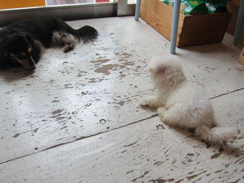 ビションフリーゼフントヒュッテ東京関東かわいいビションのこいぬ文京区hundehutte子犬を迎えたいどこでダックス小さいダックスカニヘンダックスカニンヘン女の子19.jpg