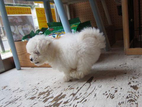ビションフリーゼフントヒュッテ東京関東かわいいビションのこいぬ文京区hundehutte子犬を迎えたいどこでダックス小さいダックスカニヘンダックスカニンヘン女の子20.jpg