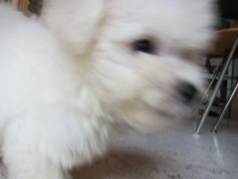 ビションフリーゼフントヒュッテ東京関東かわいいビションのこいぬ文京区hundehutte子犬を迎えたいどこでダックス小さいダックスカニヘンダックスカニンヘン女の子22.jpg