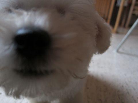 ビションフリーゼフントヒュッテ東京関東かわいいビションのこいぬ文京区hundehutte子犬を迎えたいどこでダックス小さいダックスカニヘンダックスカニンヘン女の子23.jpg