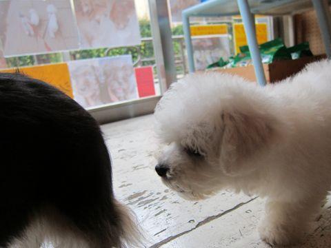 ビションフリーゼフントヒュッテ東京関東かわいいビションのこいぬ文京区hundehutte子犬を迎えたいどこでダックス小さいダックスカニヘンダックスカニンヘン女の子26.jpg