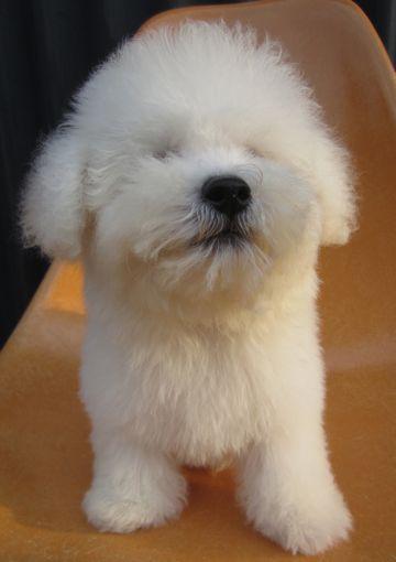 ビションフリーゼフントヒュッテ東京関東かわいいビションのこいぬ文京区hundehutte子犬を迎えたいどこでビションフリーゼトリミングハーブパック効果9.jpg