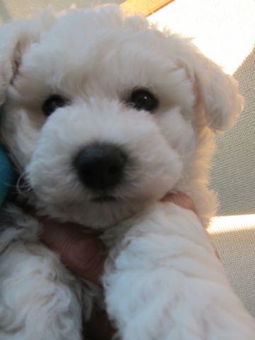 ビションフリーゼフントヒュッテ東京子犬こいぬかわいいビションフリーゼのいるお店文京区駒込ペットサロンhundehutteトリミングビションBichon Friseフランスの犬白い犬1.jpg