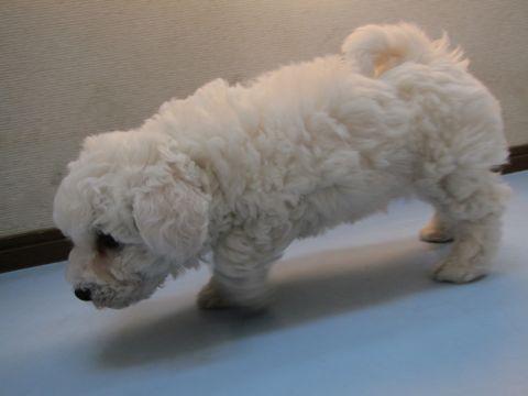 ビションフリーゼフントヒュッテ東京子犬こいぬかわいいビションフリーゼのいるお店文京区駒込ペットサロンhundehutteトリミングビションBichon Friseフランスの犬白い犬3.jpg