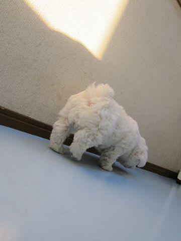 ビションフリーゼフントヒュッテ東京子犬こいぬかわいいビションフリーゼのいるお店文京区駒込ペットサロンhundehutteトリミングビションBichon Friseフランスの犬白い犬4.jpg